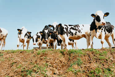 low view of a group of cows on green grass