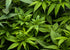Browse Free HD Images of Lush Cannabis Plants In Various Shades Of Green