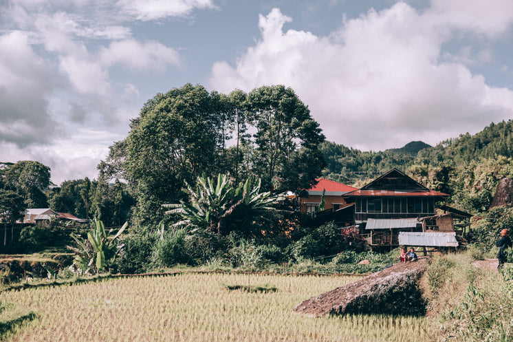 Lush Trees Tower Over A Modest Home Along Rice Paddy
