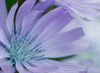 macro photo of a soft purple and blue flower