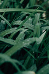 macro photo of wet blades of grass and morning dew