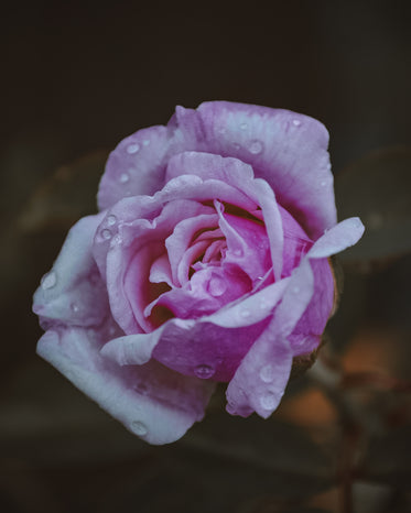 macro view of a wet pink rose with water droplets