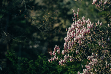 magnolia tree branch blooming