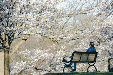 man sits on bench and admires the cherry blossoms