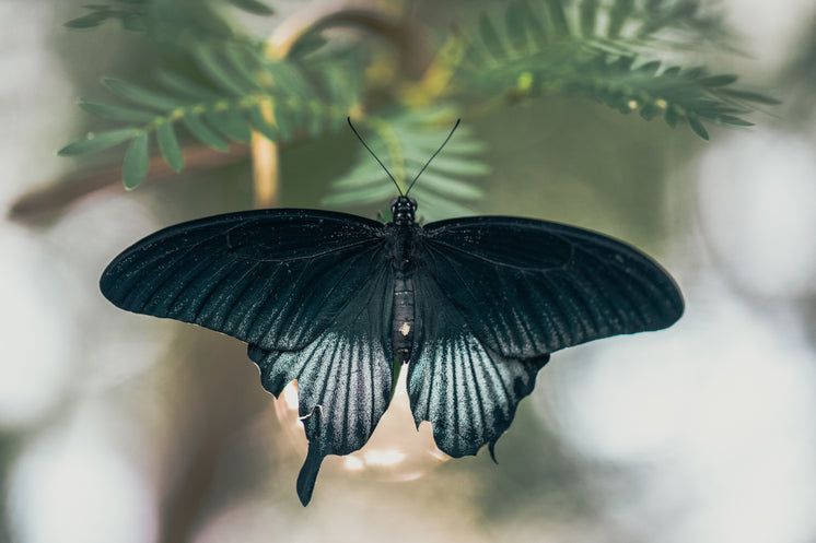 Matte Black Butterfly Spreading Its Wings