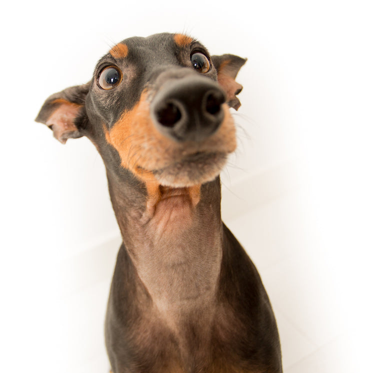 Mini Doberman Pinscher Face