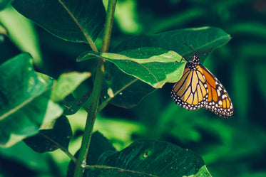 monarch butterfly perched