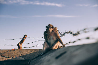 monkey sitting on top of wall lined with barb wire