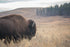 moody bison with peaceful meadow background