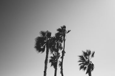 moody palm trees black and white