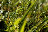 morning dew on blades of grass