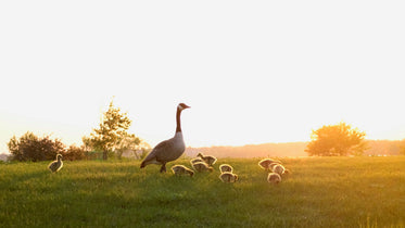 mother goose watching over goslings