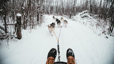 musher view of a team of sled dogs pulling through poplar forest