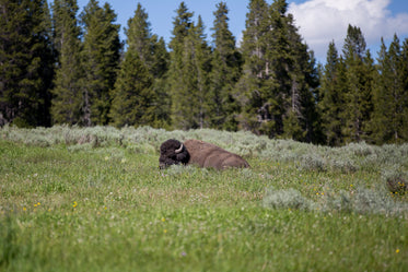 bison wildlife adventure