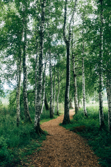 nature walk surrounded by birch trees