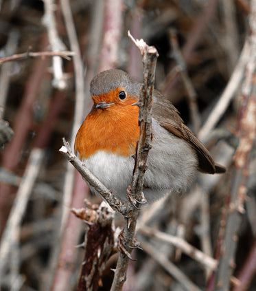 orange chested bird sits on a tree branch