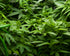 Browse Free HD Images of Overhead Shot Of Bunches Of Cannabis Leaves