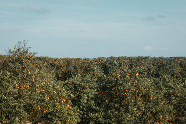 overhead view of a florida orange grove loaded with fruit