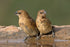 pair of spice finches perched on rim of bird bath