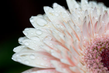 pale pink flower with water drops