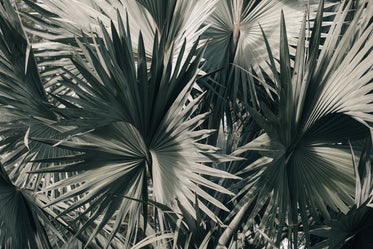 palm fronds spiral and twist together in florida sunshine