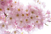 pastel pink cherry blossoms in spring