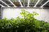 Browse Free HD Images of Patch Of Cannabis Plants Under Grow Lights
