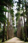 pathway lined in tall palm trees