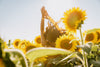 person dances among the sunflowers