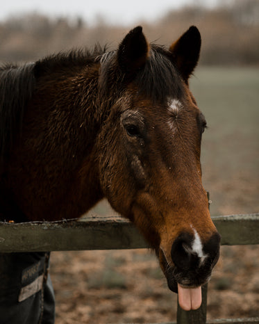 photo of a horse with tongue sticking out