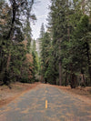 pine forest and road