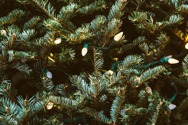 High Res Pine Greens With Lights Picture — Free Images