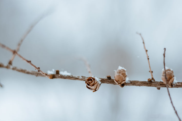Pinecones On A Branch In Snow