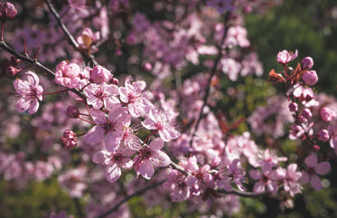 pink blossoms on branch