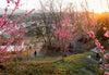 pink flowered trees with a pathway to the town