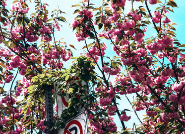 pink flowers blooming on a spring day in the city