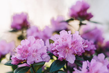 pink rhododendron blossoms open in spring sunshine