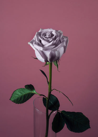 High Res Pink Rose On Pink Picture — Free Images