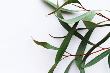 plant branch on a white background