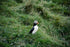 puffin bird in tall grass