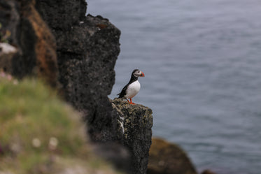 puffin sits upon a rock