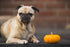 Pug Dog & Pumpkin