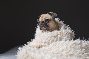 Picture of Pug In Blanket - Free Stock Photo