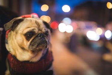 pug in city