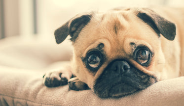 Picture of Pug In Dog Bed - Free Stock Photo