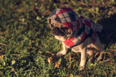 pug in sweater at sunset