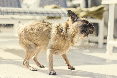 pug pup shakes off water