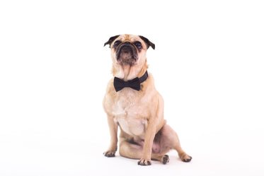 pug wearing bow tie