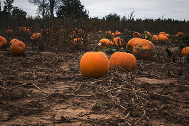 pumpkin patch at harvest