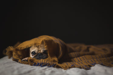 puppy dog wrapped in blanket